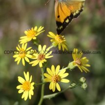 Clouded Yellow (Female) (5)