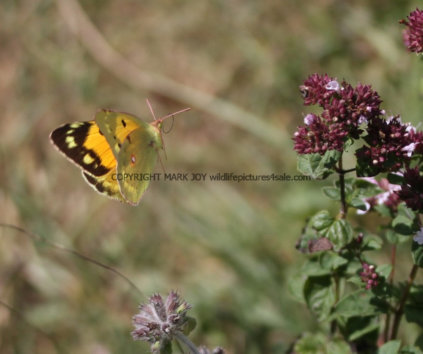 Clouded Yellow (Female) (6)