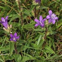 Clustered Bellflower (3)