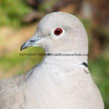 Collared Dove 1 (7)