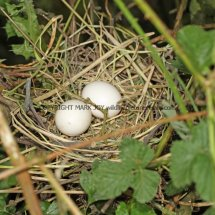 Collared Dove Nest (3)