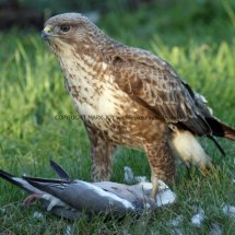 Common Buzzard (3)