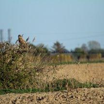 Common Buzzard (13)