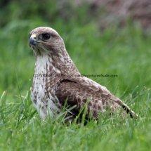 Common Buzzard (14)