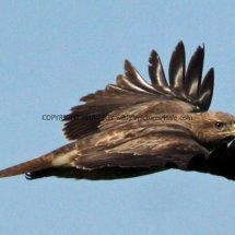 Common Buzzard (16)