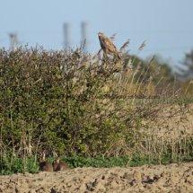 Common Buzzard (17)