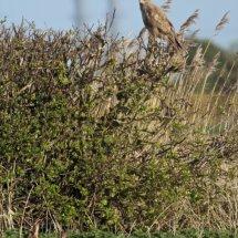 Common Buzzard (18)