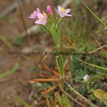 Common Centaury (Centaurium erythraea)