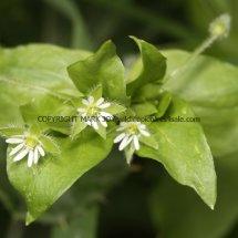 Common Chickweed (Stellaria  Media) (2)
