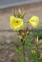 Common Evening-Primrose
