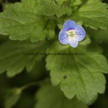 Common Field Speedwell (Veronica persica) (1)