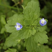 Common Field Speedwell (Veronica persica) (2)