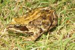 Common Frog (2)