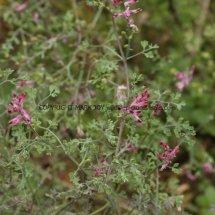 Common Fumitory (Fumaria officinalis) (1)