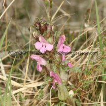 Common Lousewort (Pedicularis sylvatica) (1)