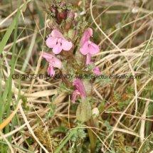 Common Lousewort (Pedicularis sylvatica) (2)