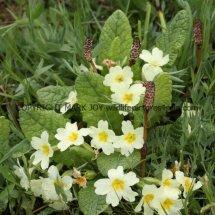 Common Primrose (Primula vulgaris) (4)