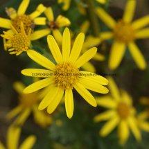 Common Ragwort (Senecio jacobaea) (1)