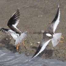 Common Redshank (12)
