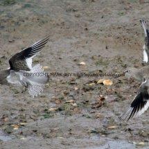 Common Redshank (15)