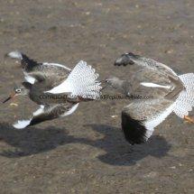 Common Redshank (16)