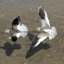 Common Redshank (5)