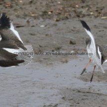 Common Redshank (9)