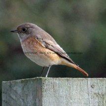 Common Redstart (1)