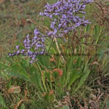 Common Sea Lavender (Limonium vulgare) (2)