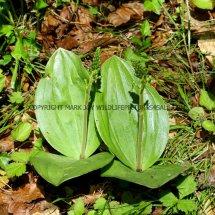 Common Twayblade (Neottia ovata) 29.4.2017 (5)