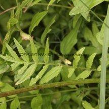 Common Valerian (2)