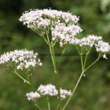 Common Valerian (3)