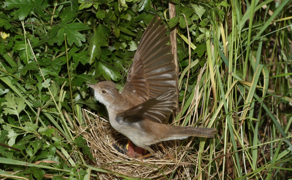 Common Whitethroat (19)