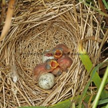Common Whitethroat Nest (2)