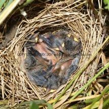 Common Whitethroat Nest (3)