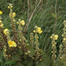 Common or Great Mullein (Verbascum thapsus) (1)