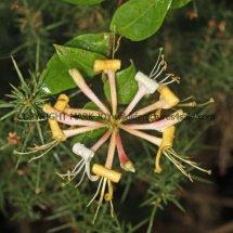Common or Woodbine Honeysuckle (Lonicera periclymenum) (2)