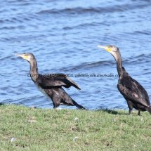 Cormorant (7)