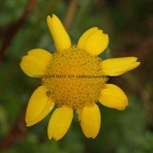 Corn Marigold (Glebionis segetum) (2)