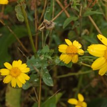 Corn Marigold (Glebionis segetum) (5)