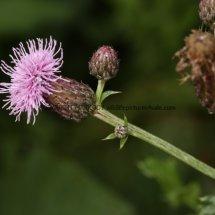 Creeping thistle (Cirsium arvense) (1)