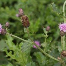 Creeping thistle (Cirsium arvense) (2)