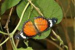 Danaid or Mimic Eggfly (Hypolimnas misippus) (3)