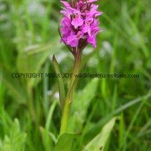 Early Marsh orchid Dactylorhiza incarnata 16.5.2017 (3)