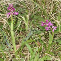 Early Purple Orchid (1)