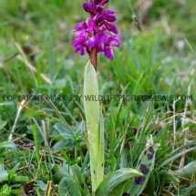 Early Purple Orchid (Orchis mascula) 30.4.2017 (3)