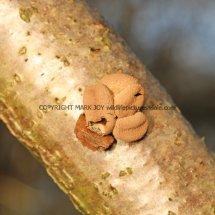 Encoelia furfuracea Spring Hazel Cup 20.1.2017 (2)