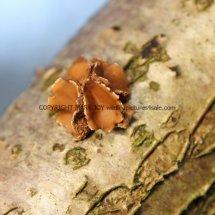 Encoelia furfuracea Spring Hazel cup (3)