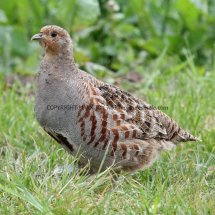 English Partridge (12)
