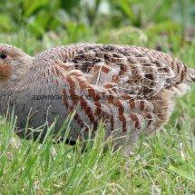 English Partridge (13)